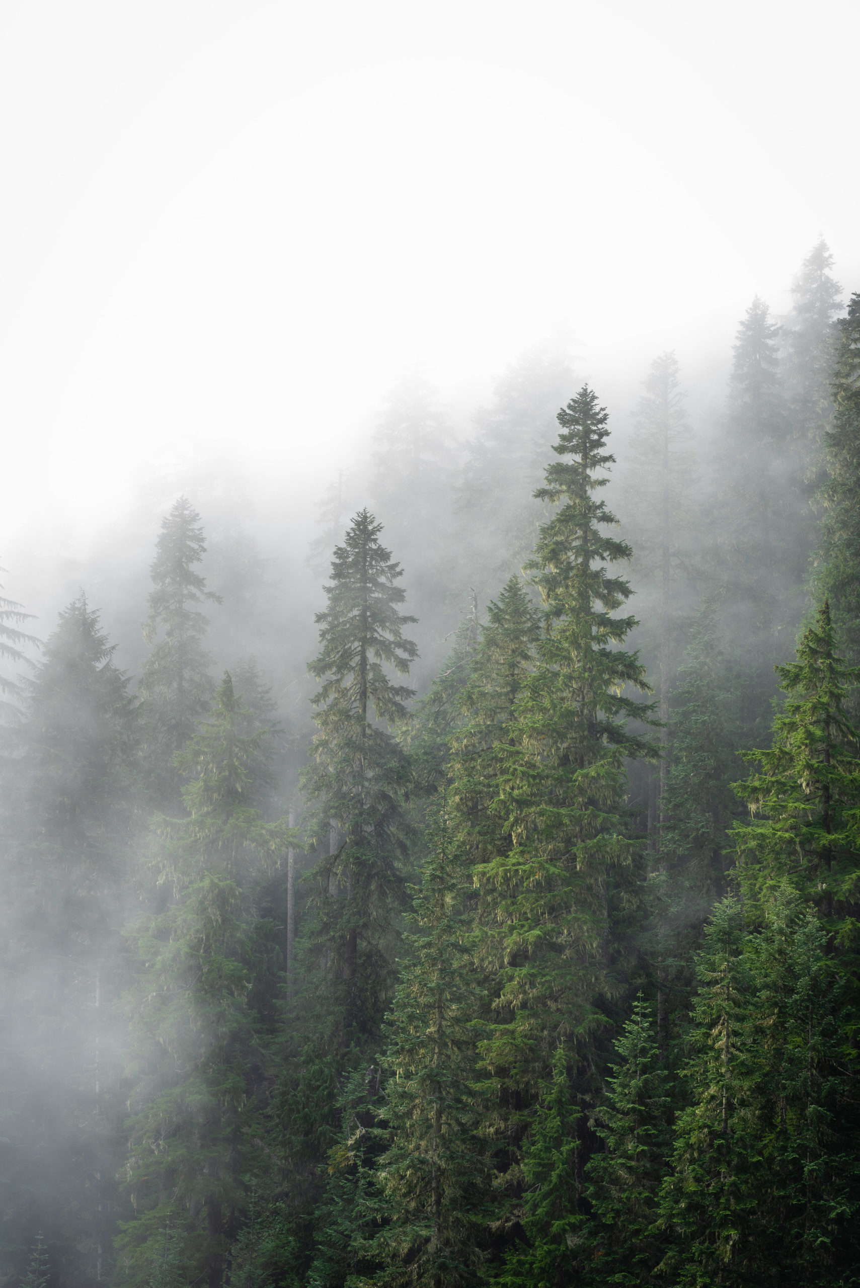 Foggy mountains and fogged trees
